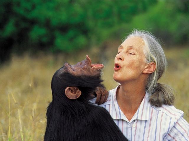 Mire tanítanak bennünket a csimpánzok?