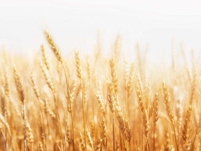 A függőleges beltéri gabonatermelés 600-szoros termést ad