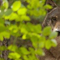 A farkas visszatért a Dolomitokba