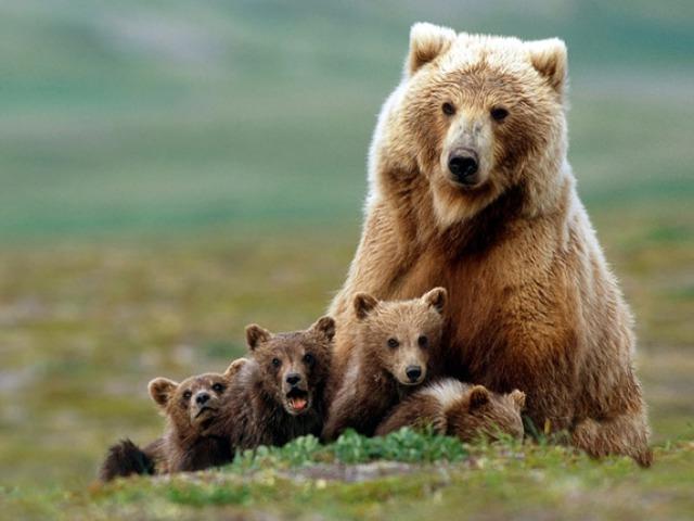 Bíróság elé kerül a yellowstone-i medvék sorsa