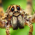 Nagyevő pókok