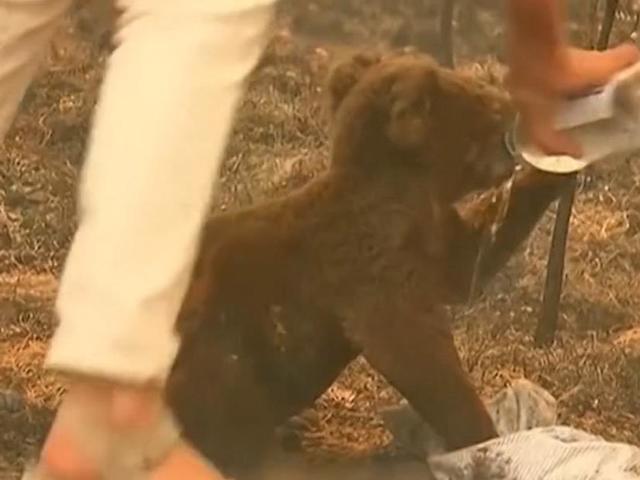 Eltűnnek a koalák az erdőtüzek miatt?