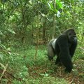 Fenntartható kakaó a Cross River gorillák megmentésére