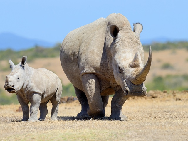 Erőfeszítések  a rinocéroszok megmentéséért