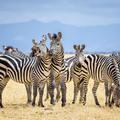 Kiderült, hogy miért csíkosak a zebrák