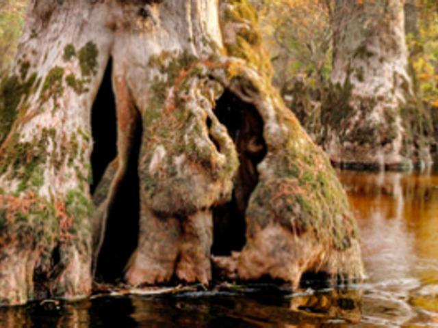 Évezredes fák Észak-Karolinában