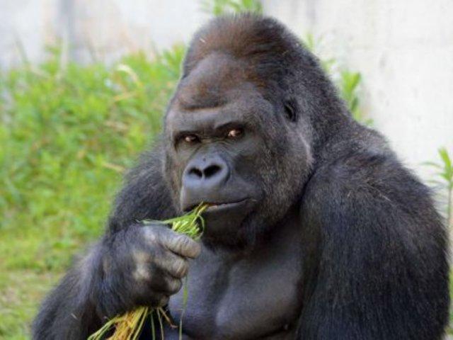 Gorillábbak vagyunk, mint gondoljuk…