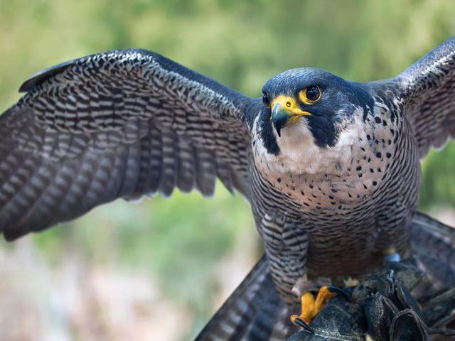 Sólymokkal galambok és más kártevő madarak ellen