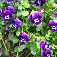 Virágmanók