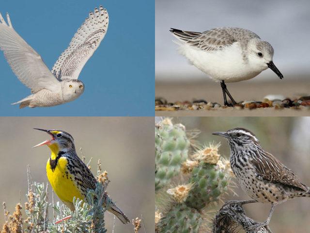 Három milliárd madár tűnt el Észak-Amerikában 48 év alatt