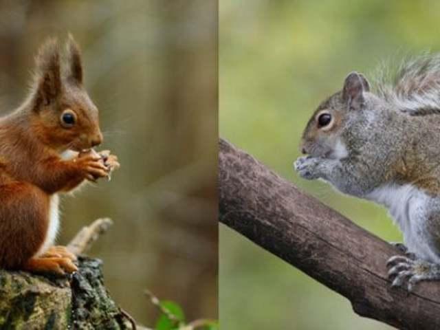 A szürke mókusok intelligensebbek a vörösöknél