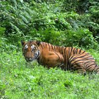 Nő a világban a tigris-populáció