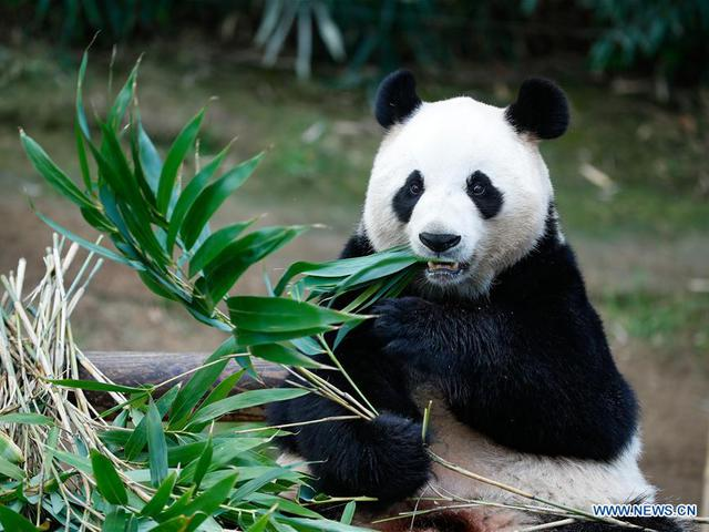A panda a bambusszal annyi proteint asszimilál, mint a húsevők