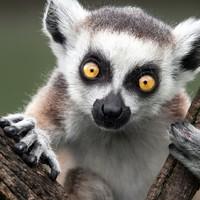 A lemurok lennének a hiányzó láncszem?