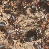 Túlélő hangyák az atombunkerben