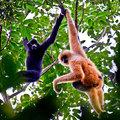 Kötélhíd a hainani gibbonok megmentésére