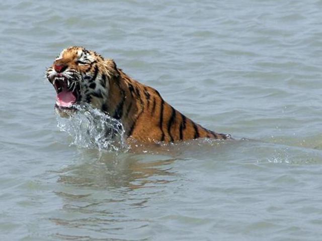 Veszélyben a bengáli tigris