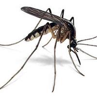 Miért szeretik a szúnyogok az embereket?