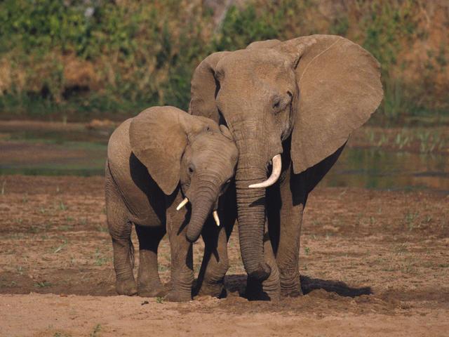 Huszonöt év múlva eltűnnek az elefántok?