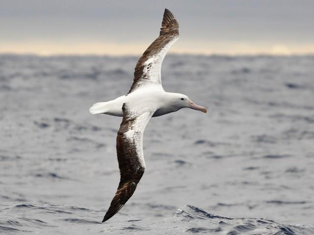Az albatroszok ellenségei