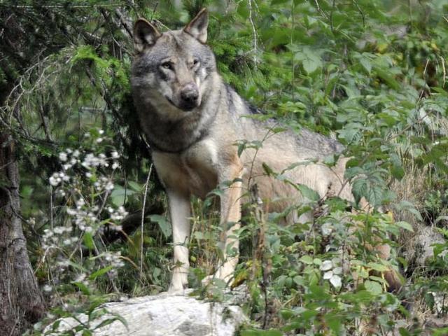 Tévhitek a farkasról