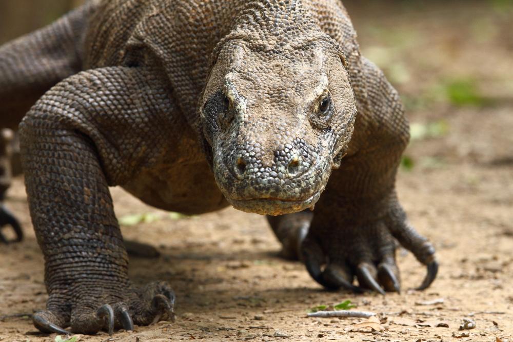4_a_komodo_dragon_lumbers_forwards_notice_the_massive_claws_used_for_gripping_prey_image_by_adam_riley.JPG