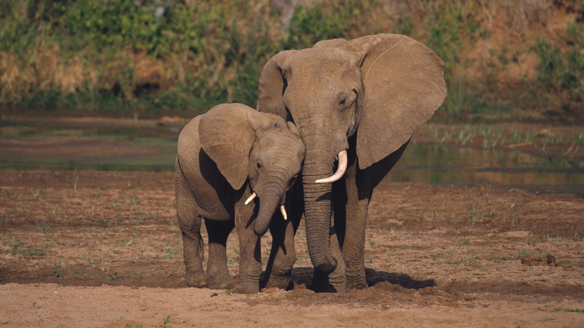 animals_hdwallpaper_african-elephants_65627.jpg