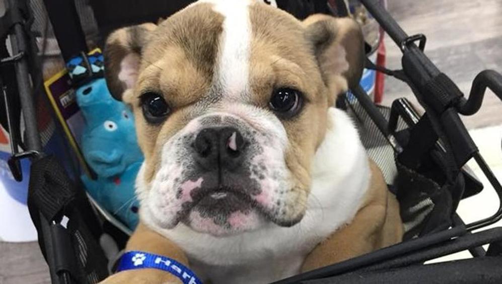 bulldog06-kezh-u1110186966138ycc-1024x576_lastampa_it.jpg