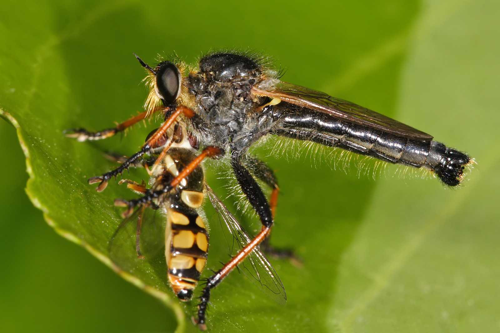 common_brown_robberfly_with_prey.jpg