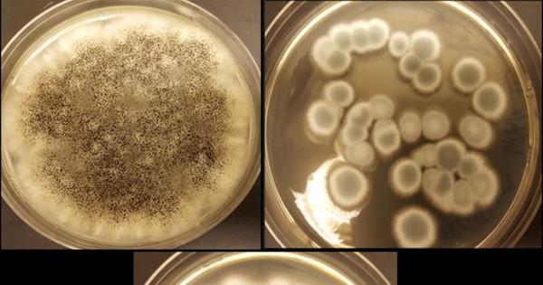 Gombák a lítium-elemek reciklálásához