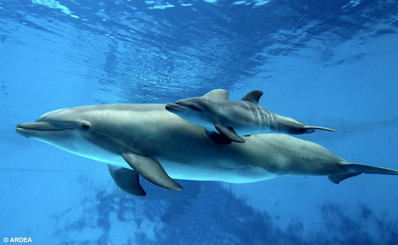 A szabadon élő delfinek betegebbek, mint a rabságban levők