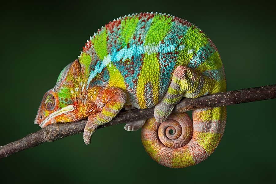 panther-chameleon.jpg