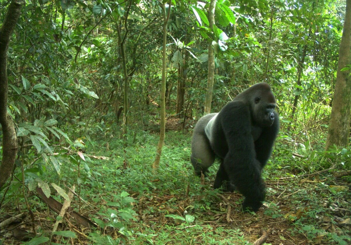 the-cross-river-gorilla-is-a-rare-and-iconic-species-photo-by-wildlife-conservation-society.jpg