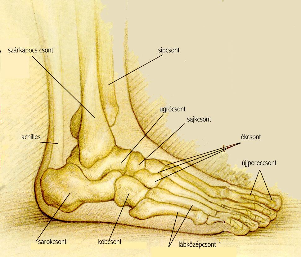 a láb csontjai