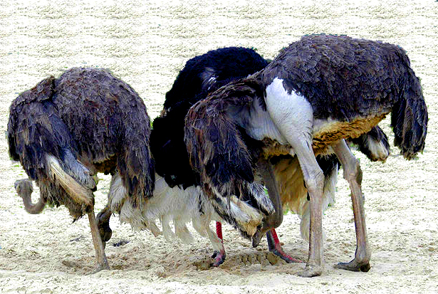 ostriches-head-in-sand2.jpg