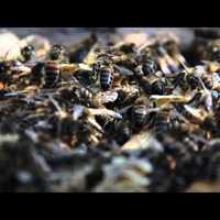 Egy bioméhész és a méhpusztulás