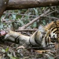 Egy szumátrai tigris halála