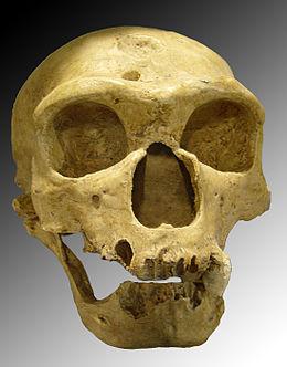 Homo_sapiens_neanderthalensis.jpg