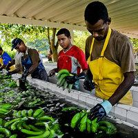 A banán méltánytalansággal kikövezett útja az európai fogyasztókig