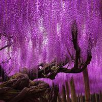 A 144 éves lilaakác mennyországa Japánban