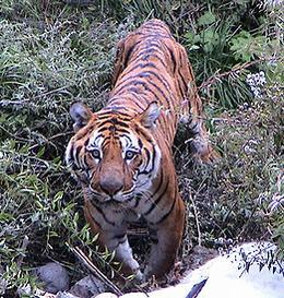 tiger_in_bhutan@body.jpg