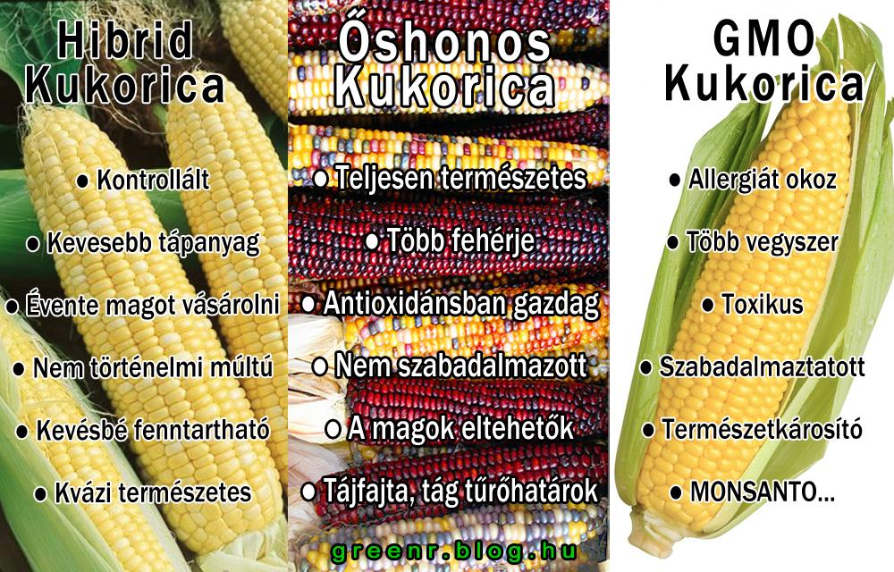 hibrid_gmo_őshonos_kukorica.jpg