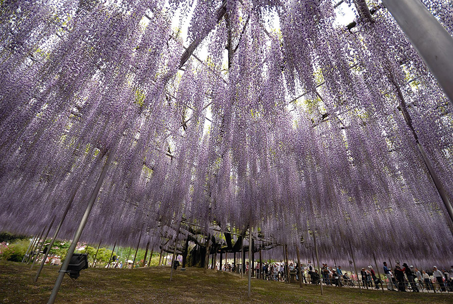 large-old-wisteria-bloom-japan-10.jpg