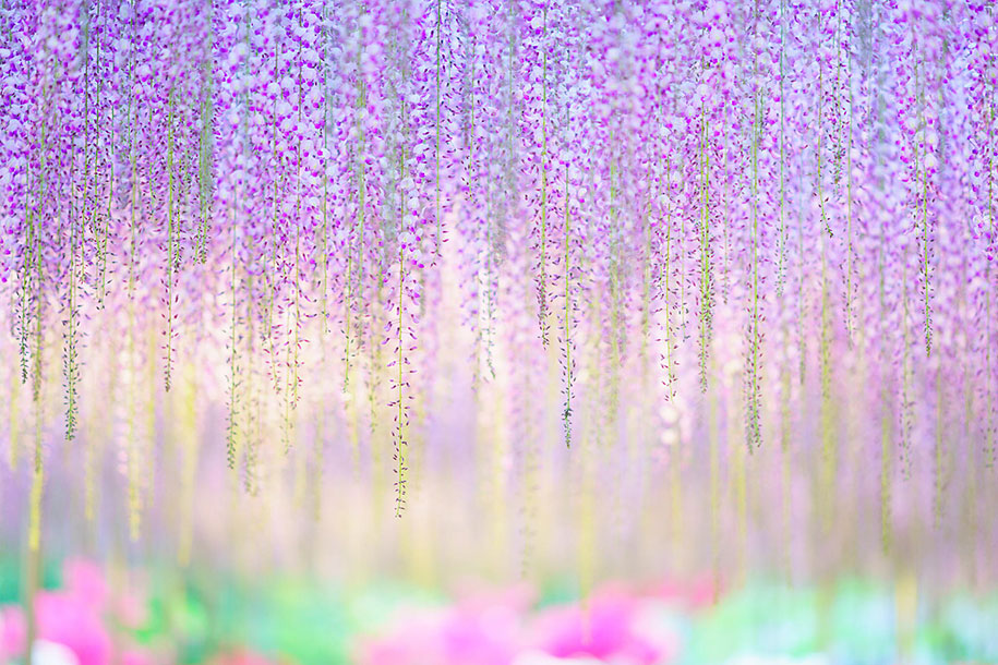 large-old-wisteria-bloom-japan-8.jpg