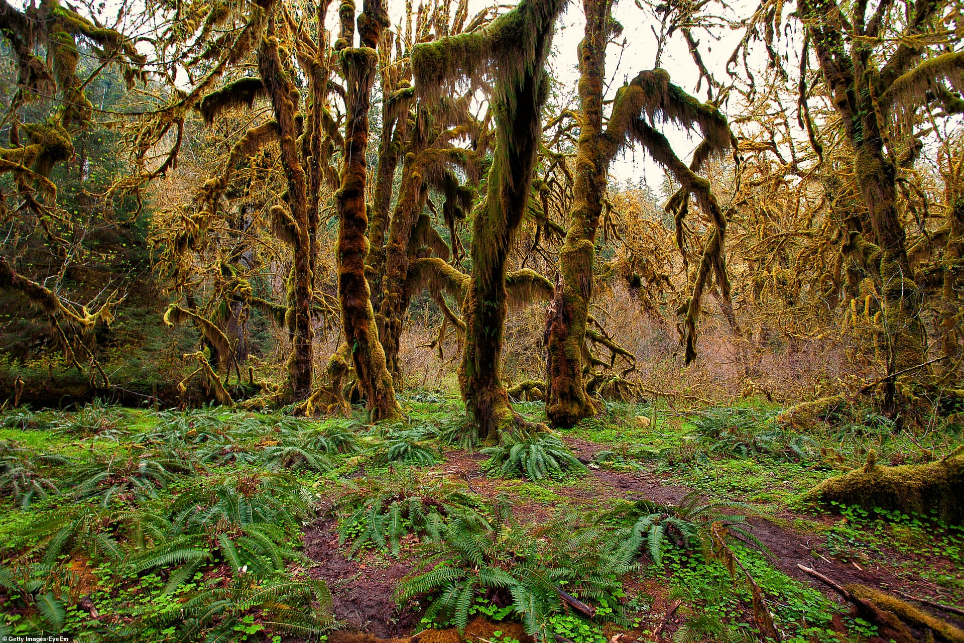 hoh_rainforest_on_the_olympic_peninsula.jpg
