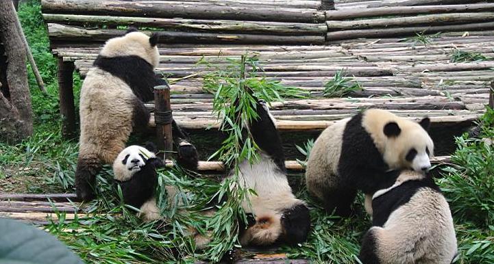 panda blogra.JPG