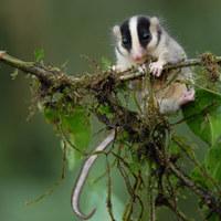 Az első fényképek a Pápua Új-Guinea-ban felfedezett állatokról