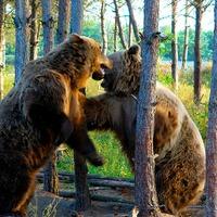 Nem költöztetnek medvéket a francia Pireneusokba