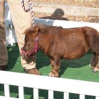 Thumbelina: a világ legkisebb lova