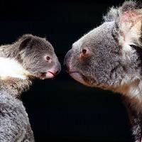 A nap képe: farkasszem koala módra